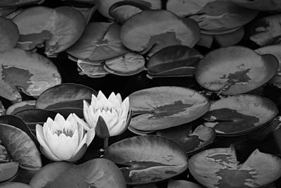 Photograph - Lily Pads With Blossoms by Randall Nyhof