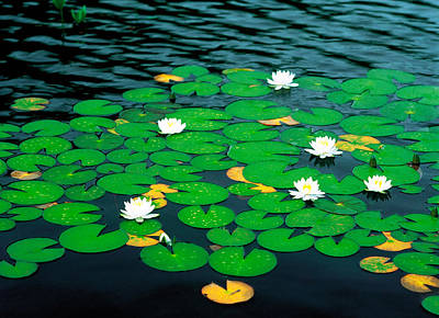 Lily Pads With Water Lily Art Print by Panoramic Images