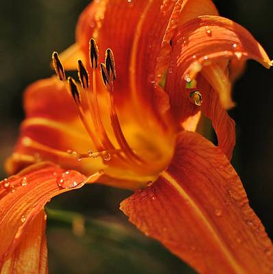 Art Print featuring the photograph Lily by Paul Noble