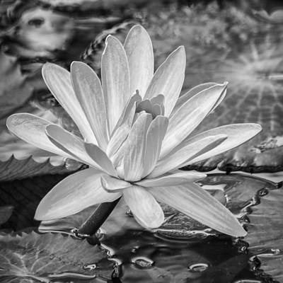 Photograph - Lily Petals - Bw by Carolyn Marshall
