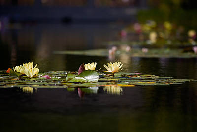 Lilies Royalty-Free and Rights-Managed Images - Lily Pond by Peter Tellone