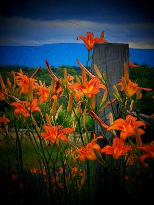 Wild Tiger Lily Photograph - Lily Post by Joyce Kimble Smith
