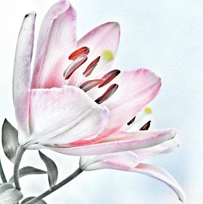 Lilies Photos - Lily - Soft Pink and Grey Flower by Marianna Mills