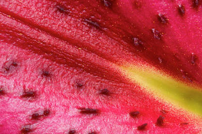 Deep Pink Photograph - Lily 'star Gazer' Petal Abstract by Nigel Downer