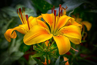 Photograph - Lily Sunshine by John Haldane