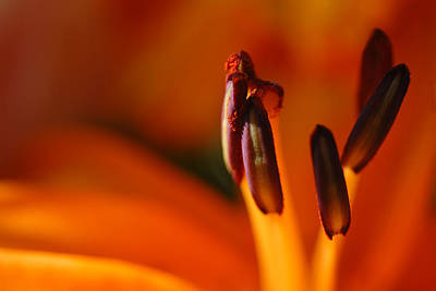 Photograph - Lily by Susan D Moody