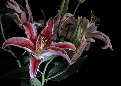 Lilies Royalty-Free and Rights-Managed Images - Lily the Pink by Wayne Sherriff