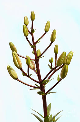 Lily Tree Art Print by Steve Augustin