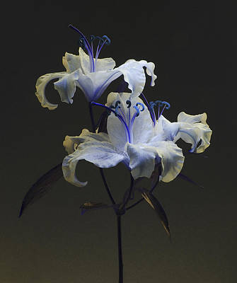 Photograph - Lily Variation #03 by Richard Wiggins