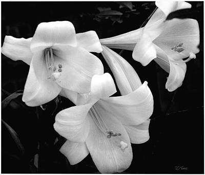 Photograph - Lily White / Flowers by James C Thomas