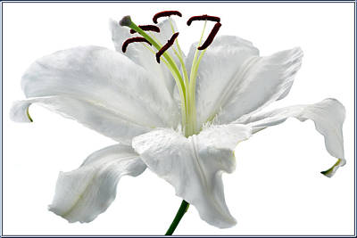 Lilies Royalty-Free and Rights-Managed Images - Lily White. by Terence Davis