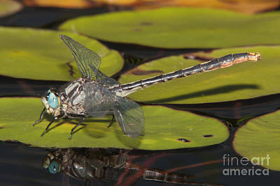 Insects Photograph - Lilypad Clubtail On A Lily Pad by Clarence Holmes