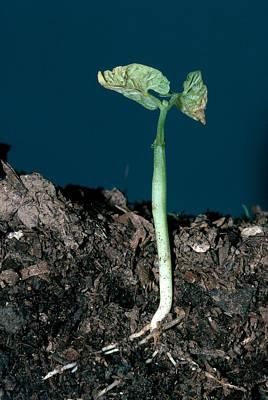 Photograph - Lima Bean Seedling by Robert J Erwin