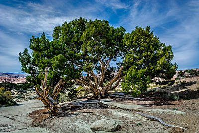 Photograph - Limber Pine by Tex Wantsmore