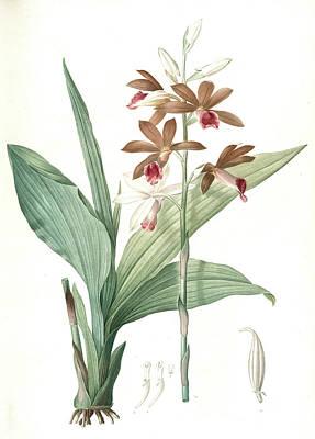 Orchids Drawing - Limodorum Tankerwillae, Phaius Grandifolius Limodore De by Artokoloro