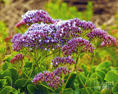 Photograph - Limonium - Statice by Artist and Photographer Laura Wrede