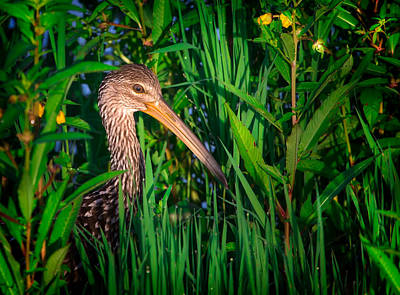 Beauty Mark Photograph - Limpkin At Sunrise by Mark Andrew Thomas