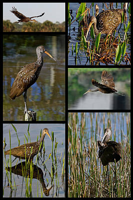 Photograph - Limpkin Collage by Dawn Currie