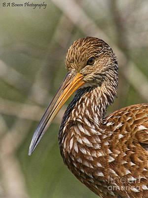 Photograph - Limpkin Portrait by Barbara Bowen