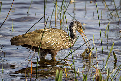 Photograph - Limpkin With A Snail by Ronald Lutz