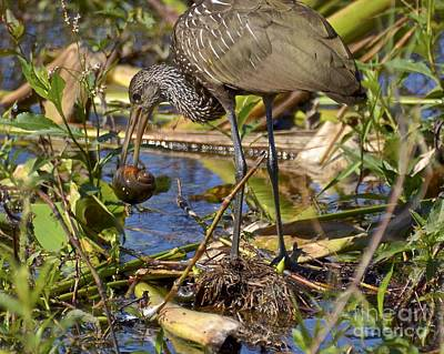 Photograph - Limpkin With Apple Snail by Carol  Bradley