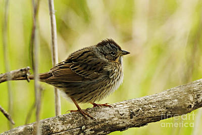 Photograph - Lincolns Sparrow by Larry Ricker