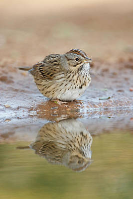 Starr Photograph - Lincoln's Sparrow (melospiza Lincolnii by Larry Ditto