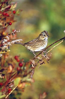 Lincolns Sparrow Art Print by Paul J. Fusco