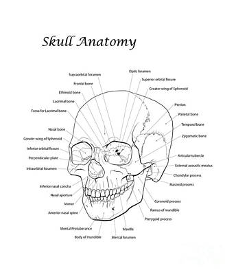 Human Skeleton Digital Art - Line Illustration Of A Human Skull by Nicholas Mayeux