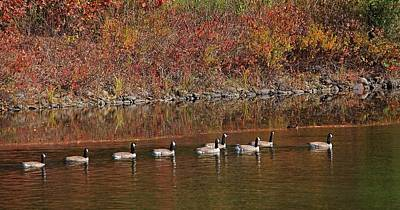 Photograph - Line Of Geese On The Quinapoxet River by Michael Saunders