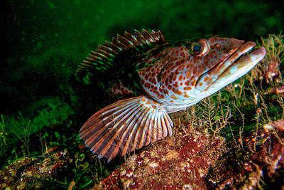 Lingcod (ophiodon Elongatus Art Print by James White