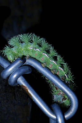 Photograph - Link To The Future - Io Moth Caterpillar by Jane Eleanor Nicholas