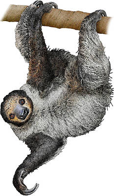 Photograph - Linnaeuss Two-toed Sloth, Illustration by Roger Hall
