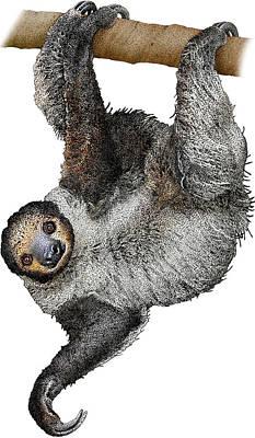 Linnaeuss Two-toed Sloth, Illustration Art Print