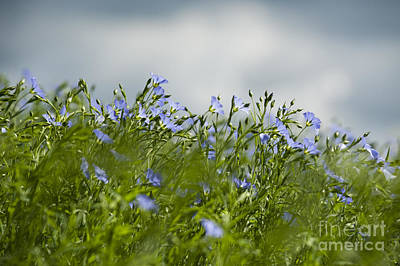 Lint Photograph - Linseed by Anne Gilbert