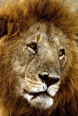 Lion 01 Art Print by Wally Hampton