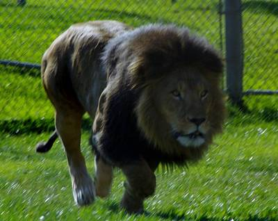 Photograph - Lion 4 by Phyllis Spoor