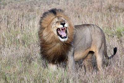 Angry Photograph - Lion by Alessandro Catta