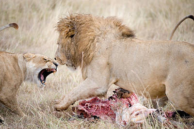 Of Felines Photograph - Lion And A Lioness Panthera Leo by Panoramic Images