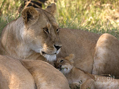 Art Print featuring the photograph Lion And Cub by Chris Scroggins