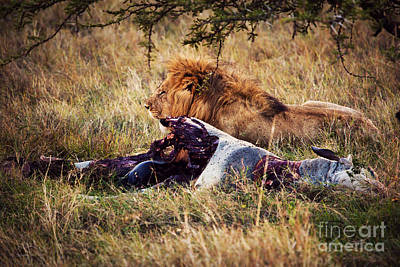 Hair Photograph - Lion And His Prey On Savanna. Serengeti. Africa by Michal Bednarek