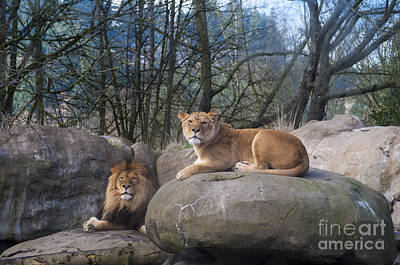 Lion Photograph - Lion And Lioness by Mandy Judson