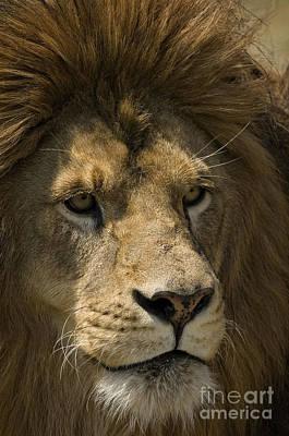 Lion Photograph - Lion-animals-image by Wildlife Fine Art