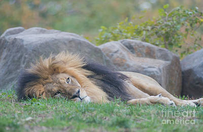 Photograph - Lion Around by Chris Scroggins