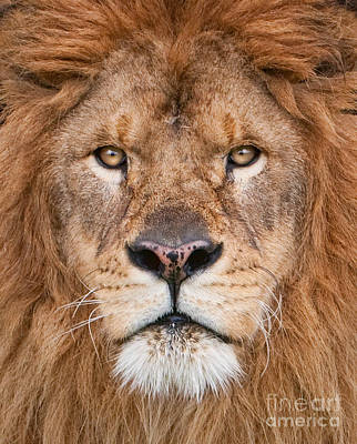 Art Print featuring the photograph Lion Close Up by Jerry Fornarotto