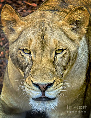 Photograph - Lion Closeup by David Millenheft