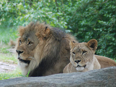 Photograph - Lion Couple by Richard Bryce and Family