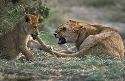 Lion Cub Biting Mother Art Print by Jean-Michel Labat