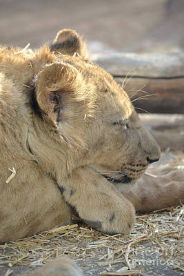 Lion Cub Dozing In The Sun Art Print
