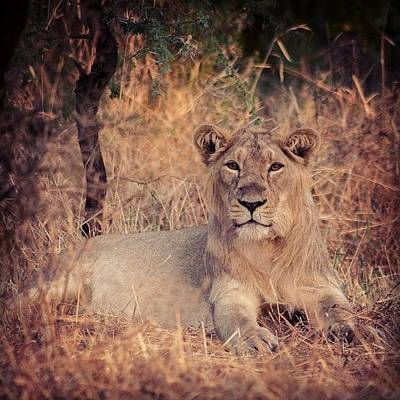 Wildlife Photograph - Lion Cub by Hitendra SINKAR